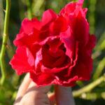 jardin rosa